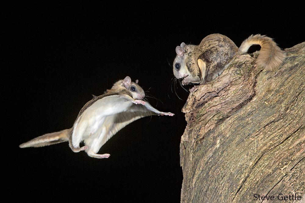 Photographing Flying Squirrels with Sabre