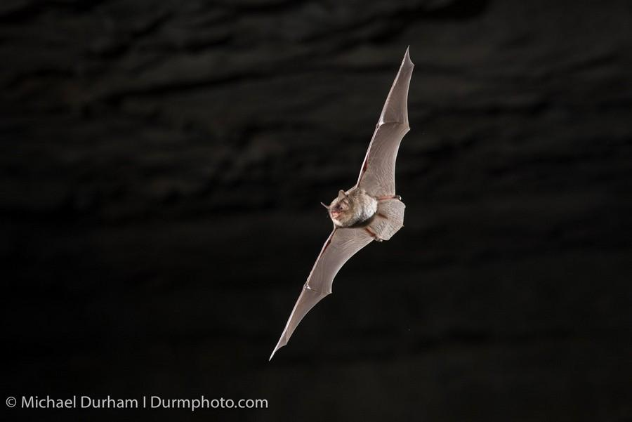 Photographing Bats with Sabre - Eliminate Shutter Lag