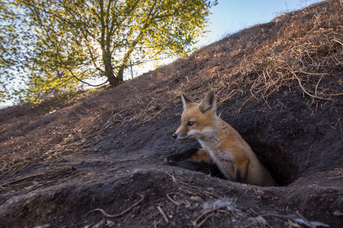 Red Fox Photographed with the RangeIR