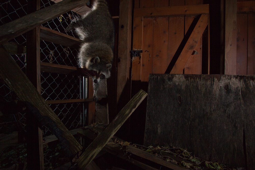 Racoon Photographed with the Scout Trail Monitoring System