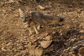 Grey Fox photographed with Scout Camera Trap