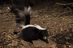 Striped Skunk photograhed with Scout Camera Trap