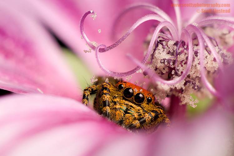 Jumping Spider in Flower