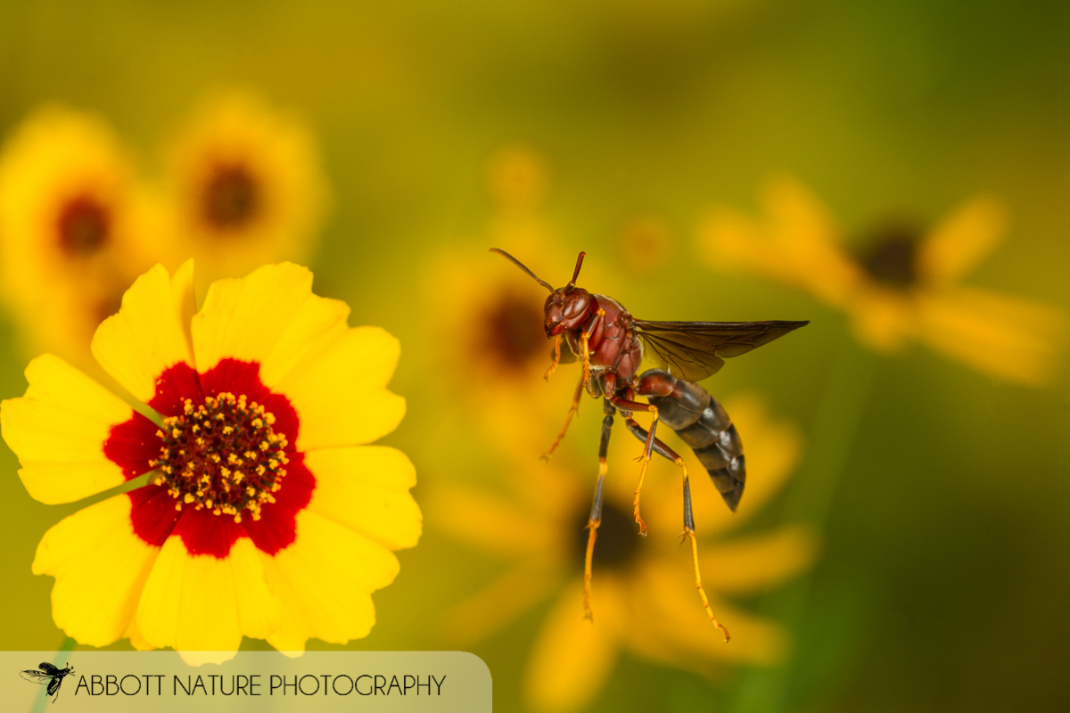 Paper wasp (Polistes metricus) captured in flight