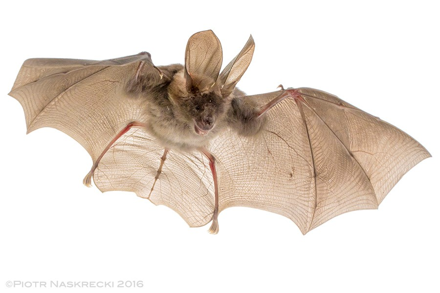 Egyptian Slit-faced bat captured in flight.