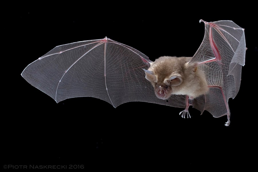 Brown form of Lander's Horseshoe Bat