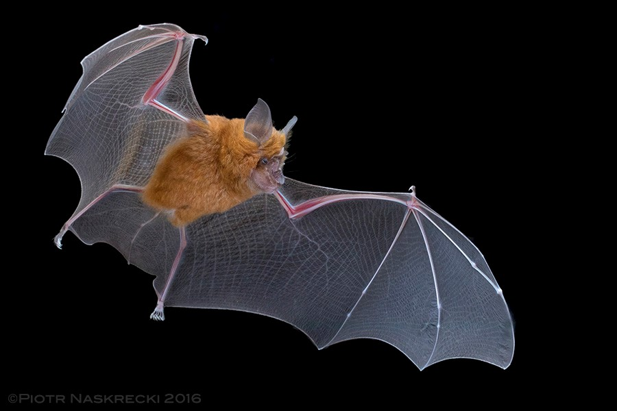 Red form of Lander's Horseshoe Bat