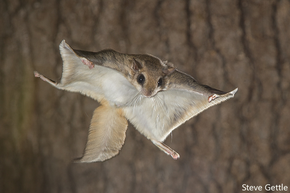 Flying Squirrel Facing the Camera