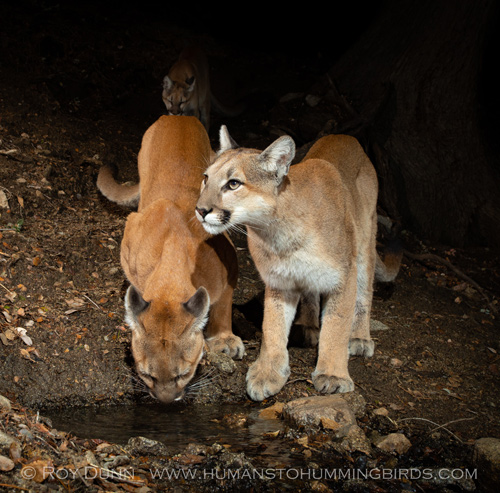 Three Mountain Lions Visiting a Spring