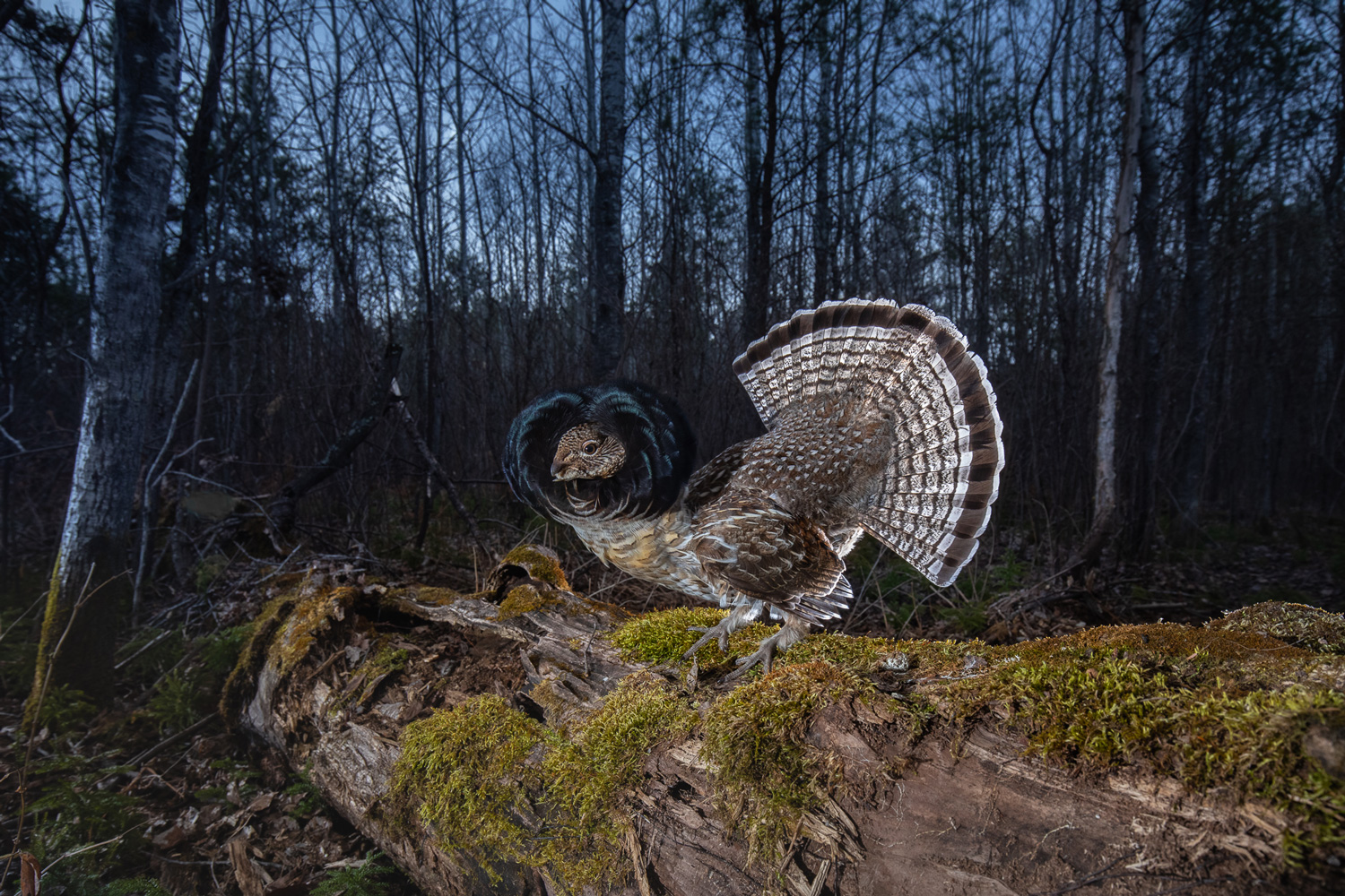 Ben Olson captures image of Grouse with Scout