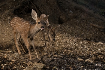 Mule Deer Fawns Captured with Scout Camera Trapping Setup (small version)