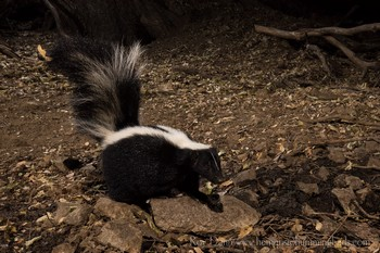 Striped Skunk Captured with Scout Camera Trigger (small version)