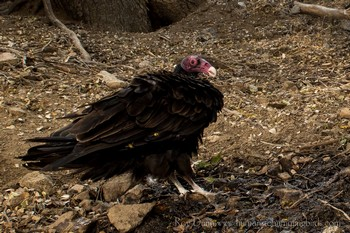 Turkey Vulture Captured with Scout Camera Trapping Setup