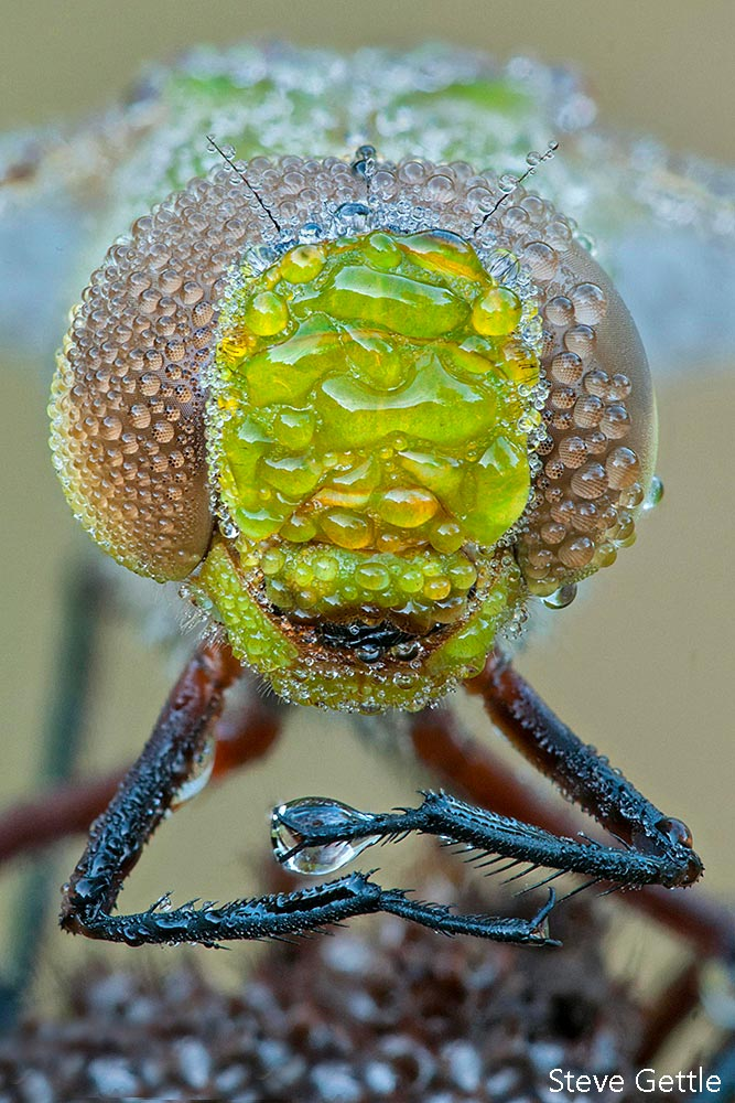 Green Darner Focus Stacked Image captured by Steve Gettle